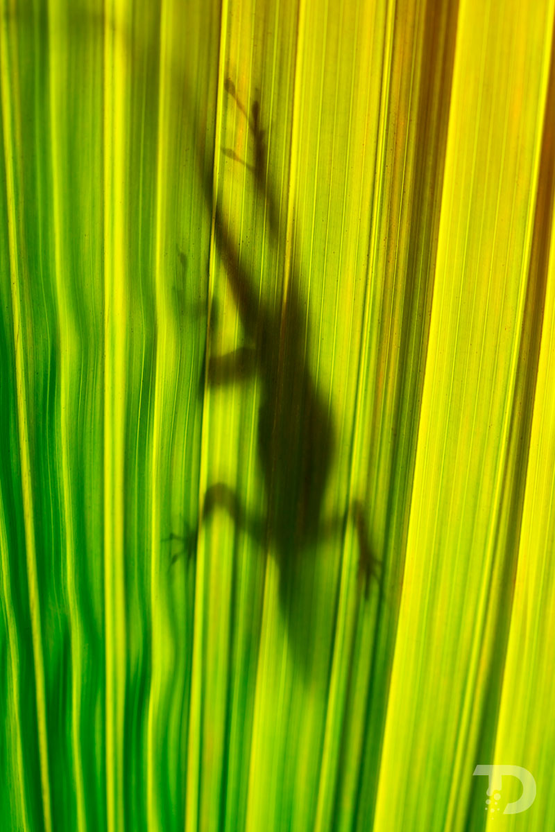 Anolis_Transparence_Feuille