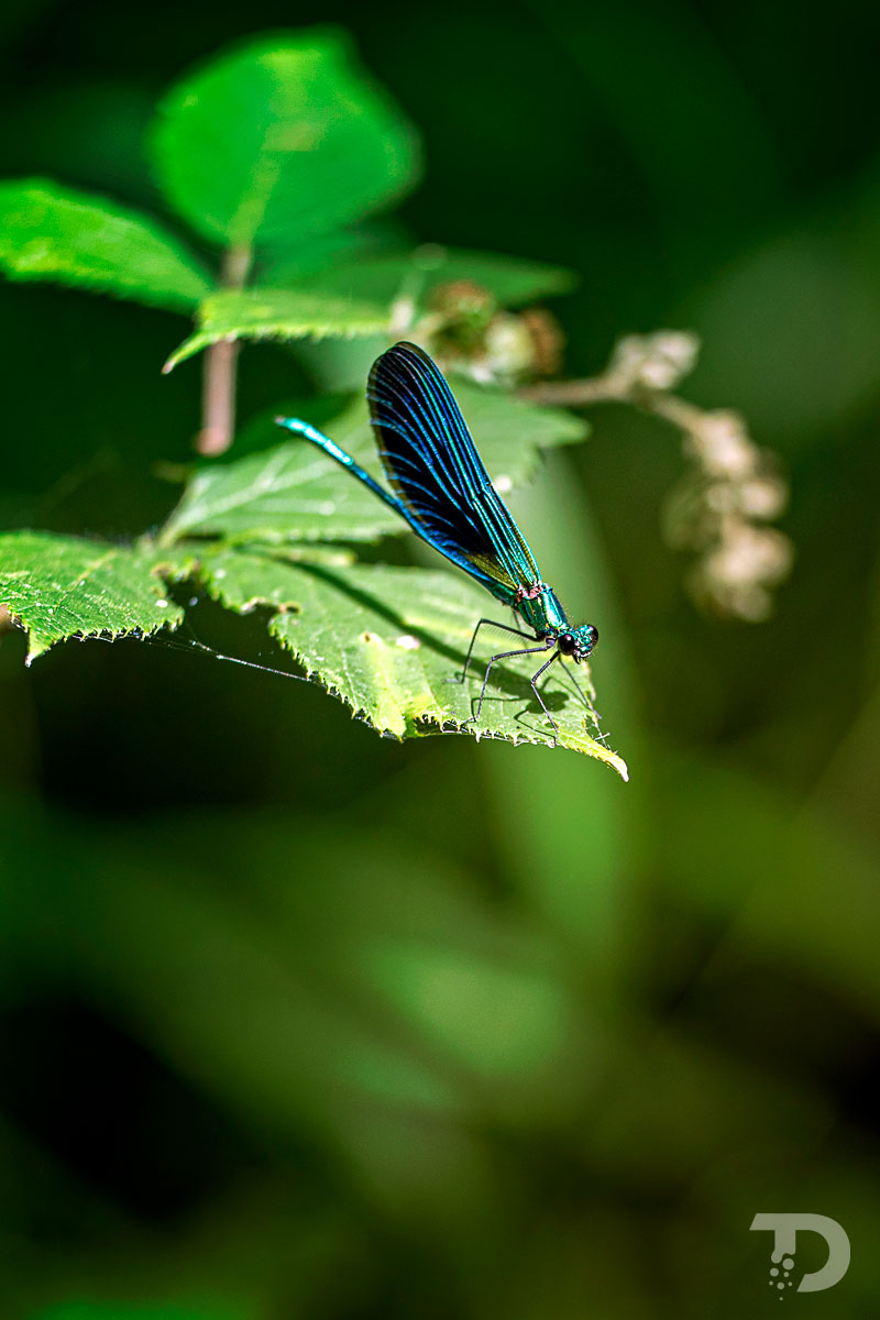 Libellule_Bleue_Calopteryx_Spendide