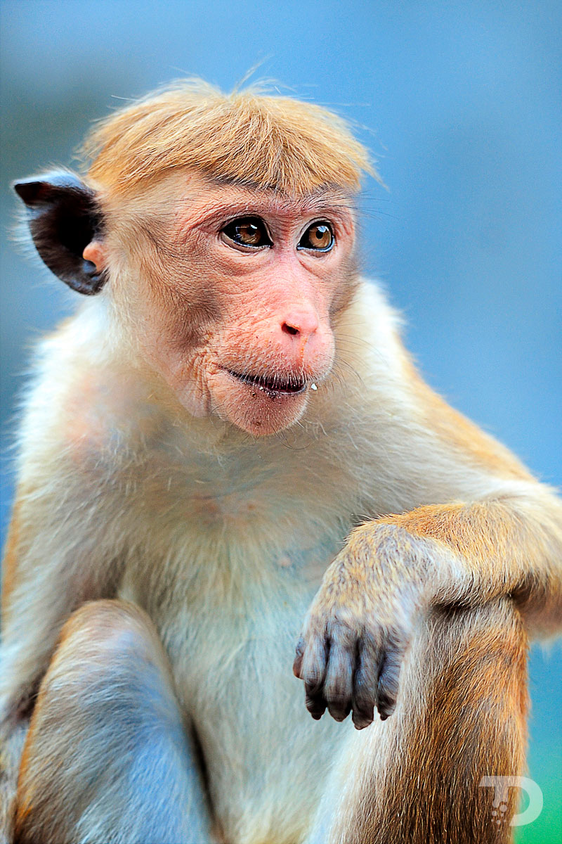 Macaque_A_Toque_Macaca_Sinica