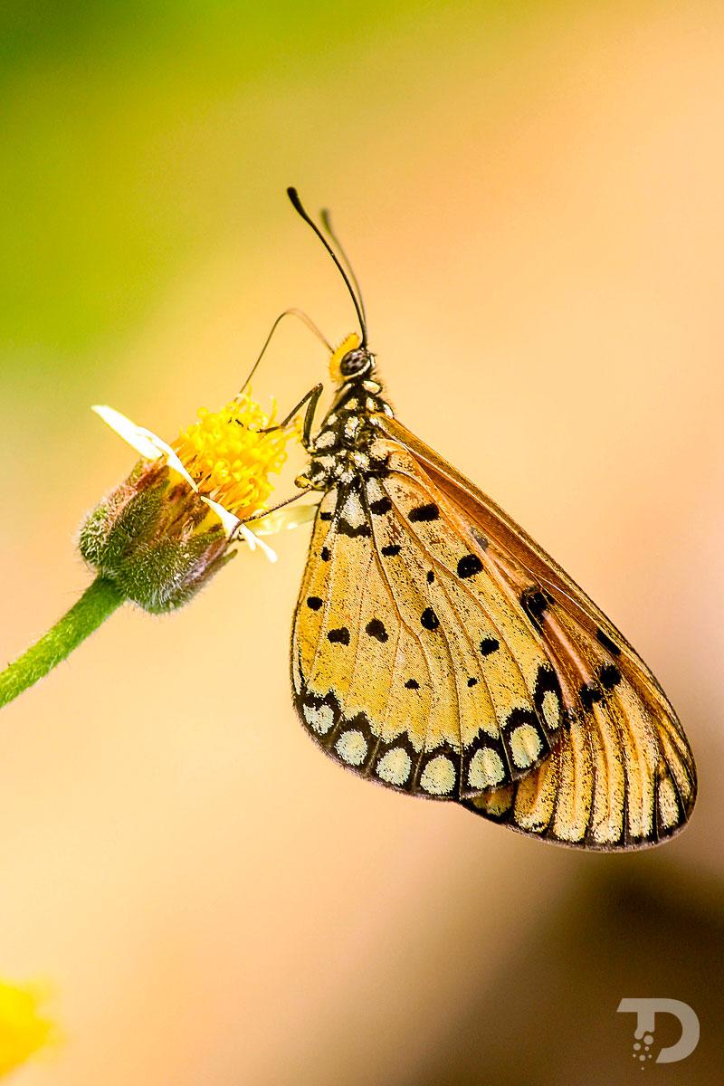 Papillon_Grand_Nacre_Speyeria_Aglaja